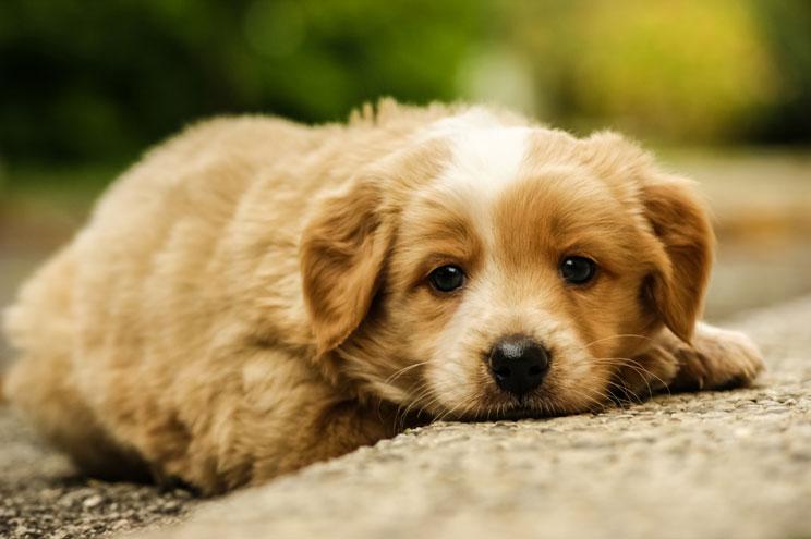 por-que-llora-mi-cachorro-que-puedo-hacer-8