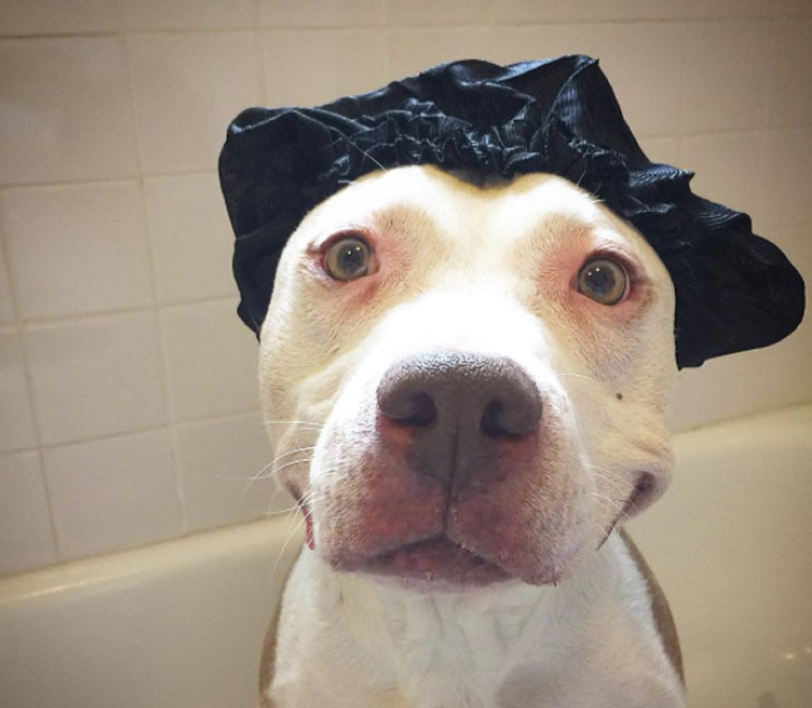 Brinks, el pit bull más sonriente del mundo