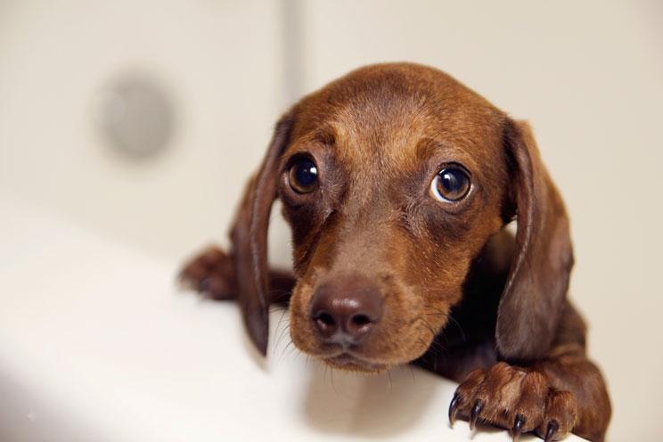Por qué hay perros que se revuelcan en cacas