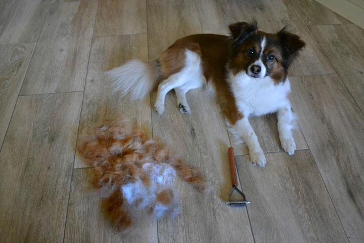 Qué es el deslanado en perros y por qué es aconsejable