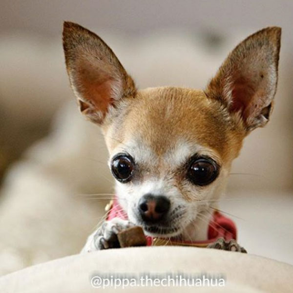Pippa The Chihuahua y Tapas Gourmet de Mediterranean Natural para perros