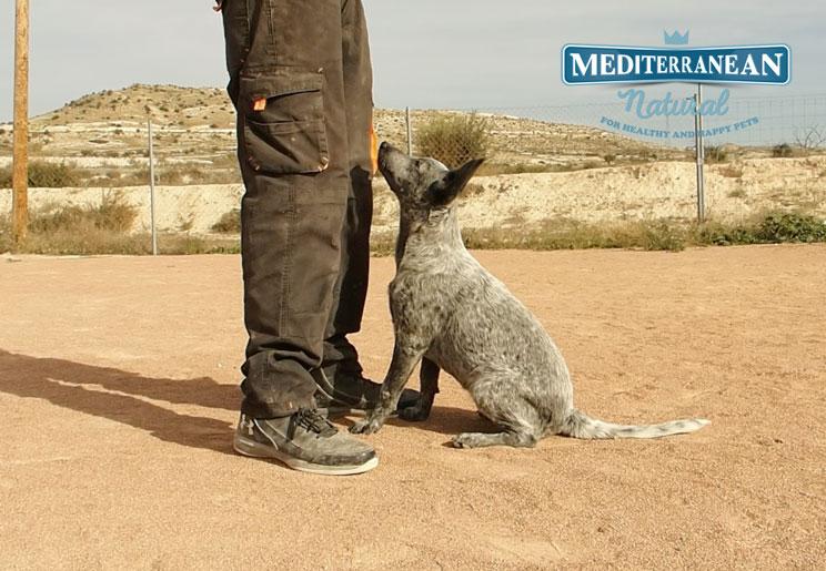 Tutorial de adiestramiento: Cómo enseñar a tu perro a acudir a la llamada