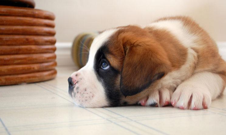 Análisis de orina en perros: cómo interpretar sus resultados