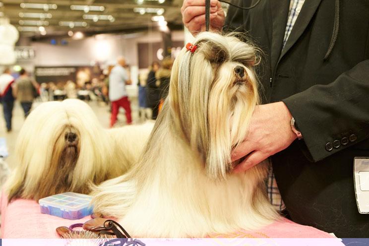 Guía completa de las razas de perros: Shih Tzu