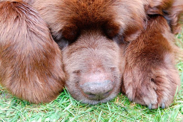 Guía completa de las razas de perros: Terranova