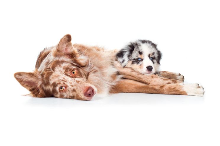 Guía completa de las razas de perros: Pastor Australiano