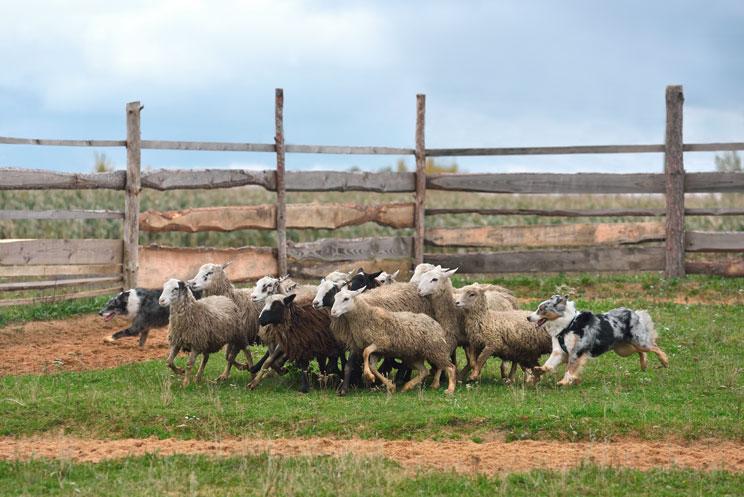 Guia-completa-de-las-razas-de-perros-pastor-australiano-3