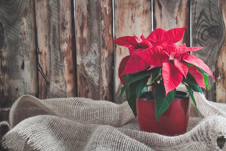 3-plantas-de-Navidad-peligrosas-para-perros-y-gatos-3