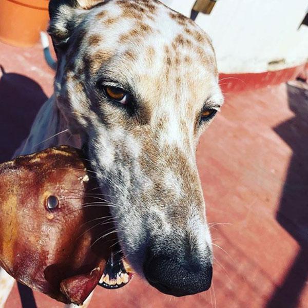 Yowi El Galgo Libre y Pig Ears de Mediterranean Natural para perros