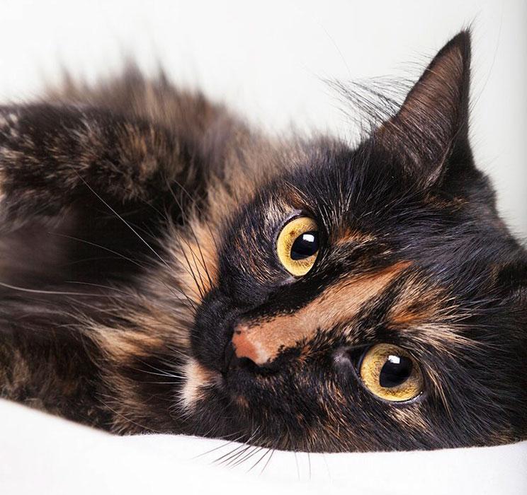 Curiosidades de las gatas tricolor ¿Por qué son hembras en su mayoría?