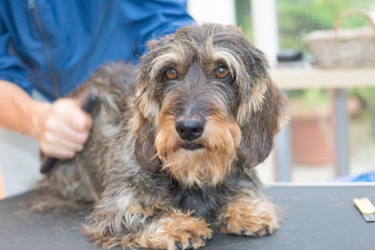 Stripping: la técnica de peluquería para perros de pelo duro