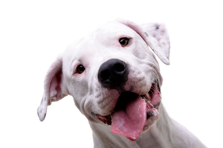 Guía completa de las razas de perros: Dogo Argentino