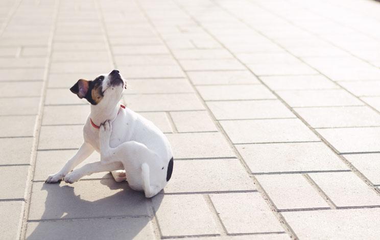 Mi perro tiene pulgas ¿Qué hago?