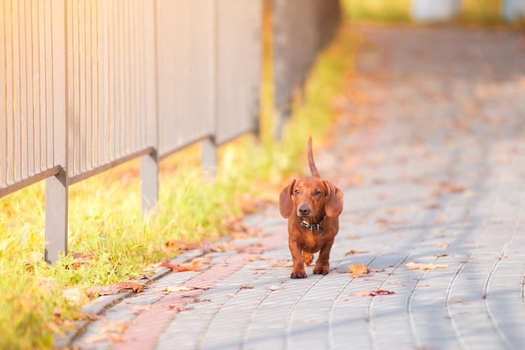 Cómo encuentran el camino a casa los perros perdidos o abandonados