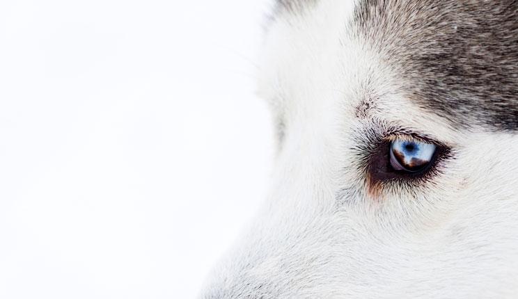 Investigacion-los-perros-han-desarrollado-musculatura-en-el-ojo-para-inspirar-ternura-en-los-humanos-4