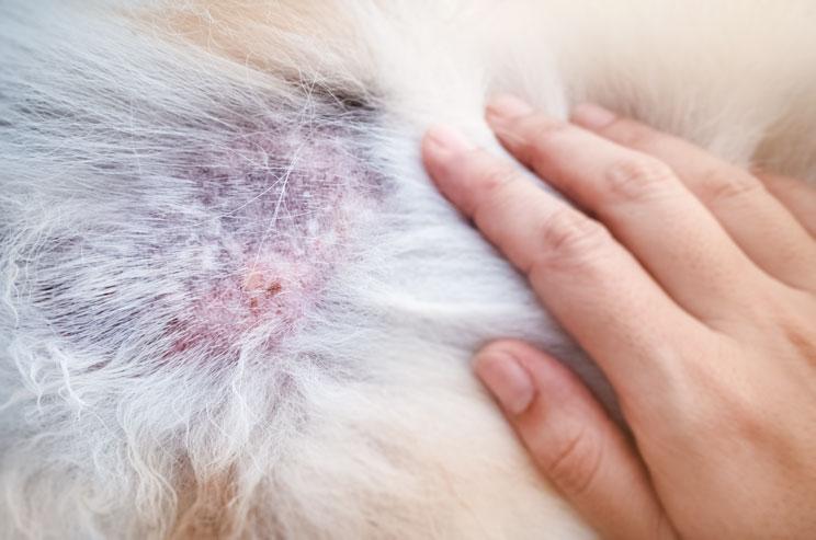 Dermatitis alérgica a la picadura de pulga en perros