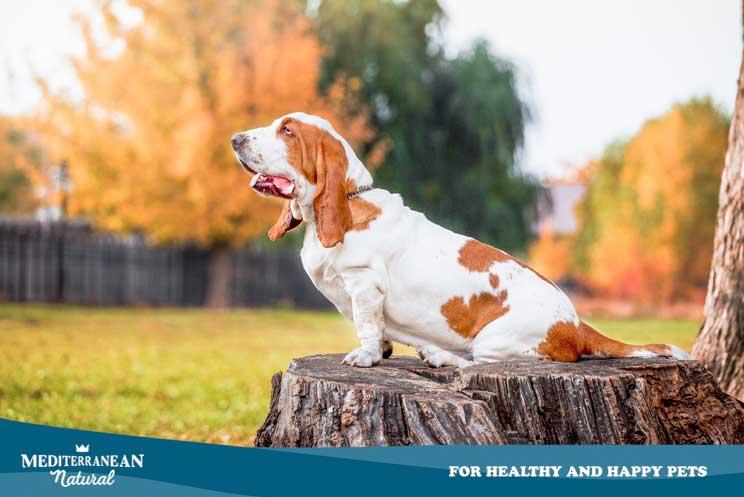 Guia-completa-de-las-razas-de-perros-Basset-Hound-1