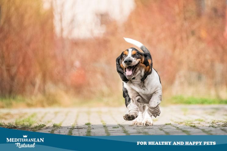 Guía completa de las razas de perros: Basset Hound