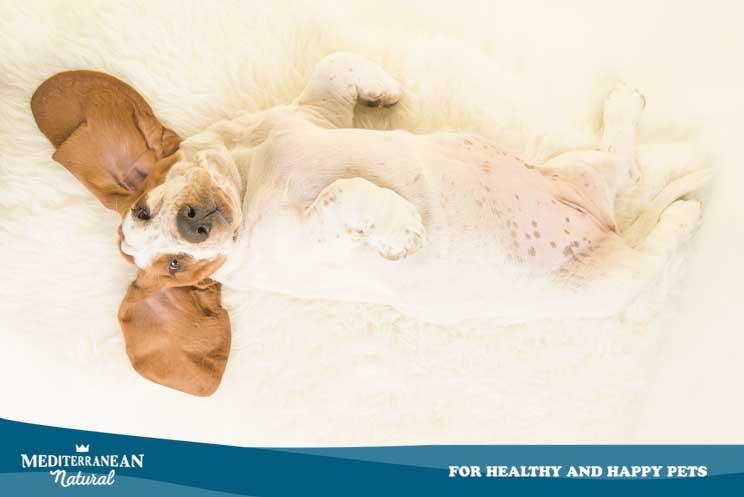 Guia-completa-de-las-razas-de-perros-Basset-Hound-3