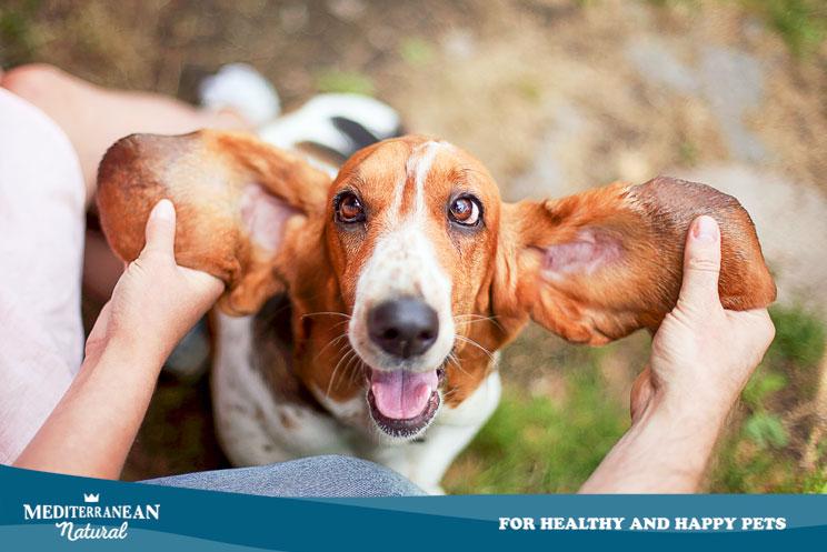 Guia-completa-de-las-razas-de-perros-Basset-Hound-4