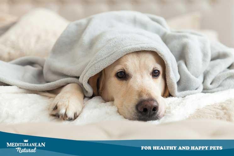 Infección por coronavirus: ¿Cómo afecta a un perro? ¿Cómo evitarlo y tratarlo?