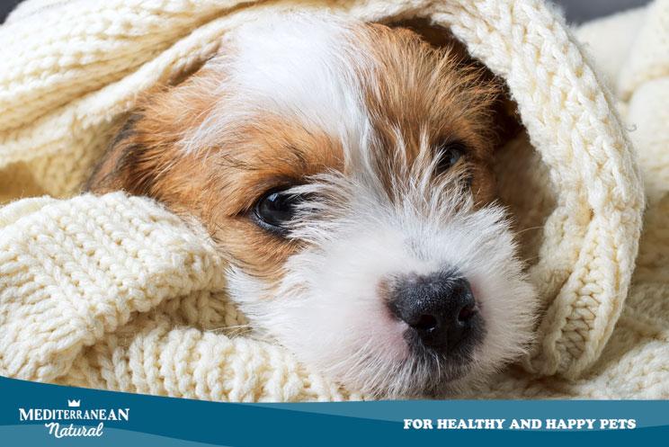 ¿Mi perro tiene fiebre? ¿Cómo puede saber su temperatura?