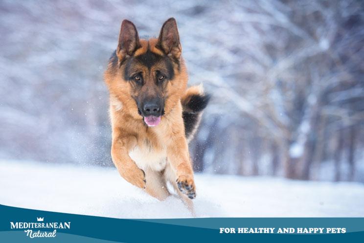 Guía completa de las razas de perros: pastor alemán