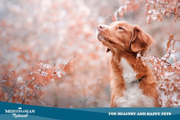 Guía completa de las razas de perros: Toller o Retriever de Nueva Escocia