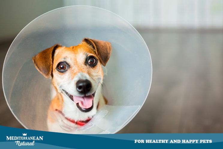 ¿Tu perro se lame las heridas? Te explicamos por qué no debe hacerlo y cómo evitarlo