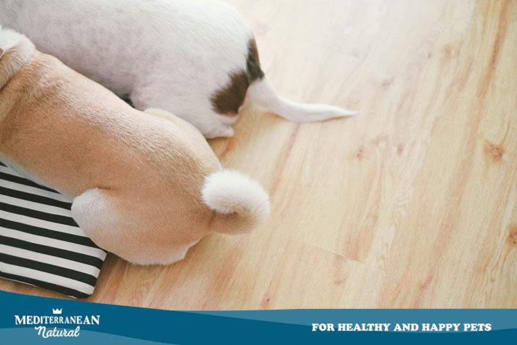 ¿Cuándo y cómo vaciar las glándulas anales a un perro?