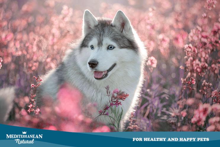 Guía completa de las razas de perros: Husky Siberiano