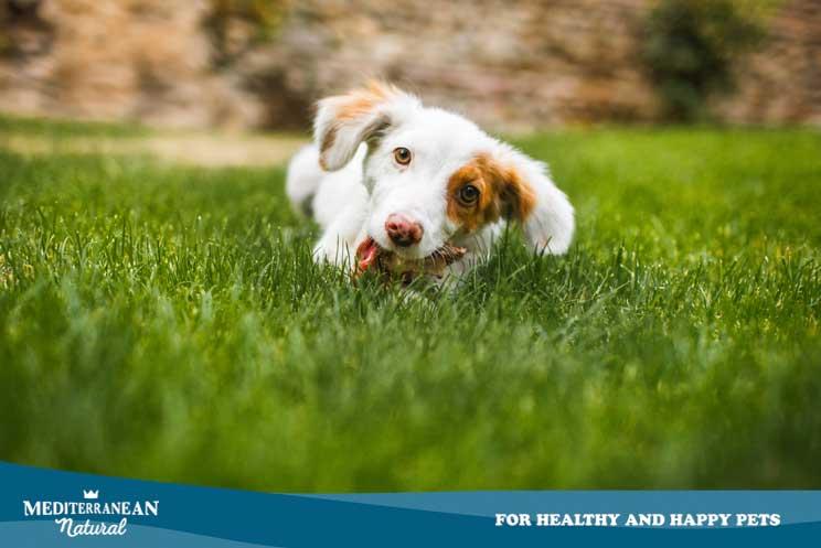 ¿Por qué mi perro come hierba? ¿Debo evitar que lo haga?