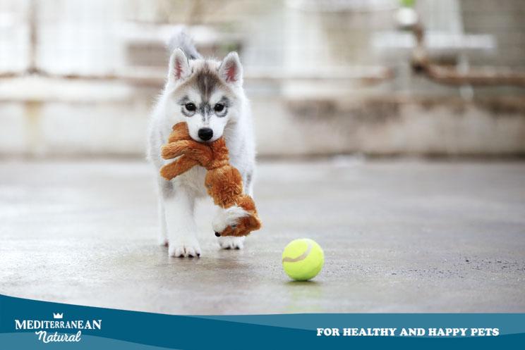 Cómo enseñar a un cachorro a jugar sin que destroce la casa