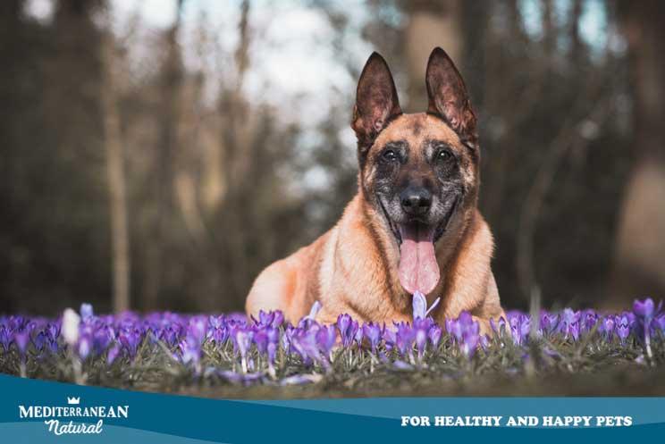 Cómo mantener sano a un perro mayor